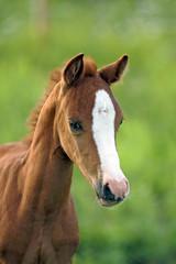 Portrait of Welsh Mountain Pony Foal