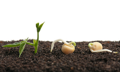 Sprouted yellow peas