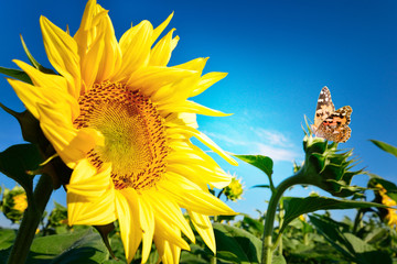 Beautiful sunflower against the blue sky background, in autumn season