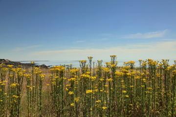 Le rideau jaune des astéracées ouvert sur l'océan.