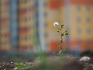 Small, weak flower among wasteland and dirt on the background of the beautiful buildings of the city. The concept of urban ecology, environment