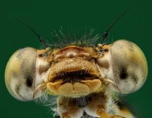 Macrophotographie d'un insecte: Tête de Leste brun (Sympecma fusca)