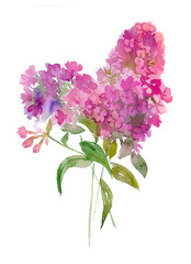 watercolor bouquet of phlox.