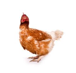 Lustiges Huhn schaut komisch