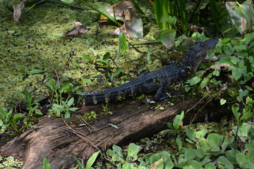 Baby gator on a log.