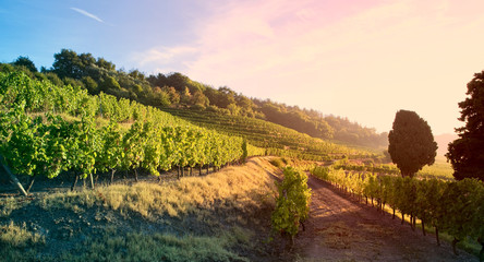 Lumière dans les vignes en France