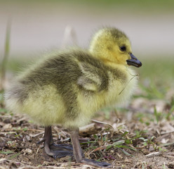 Beautiful isolated photo of a cute chick of Canada geese