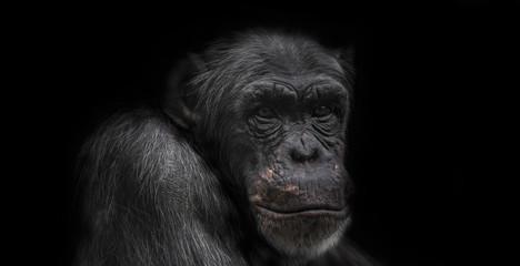 Thinking chimpanzee portrait isolated on black background