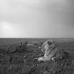Lions relaxing on grassy landscape against sky