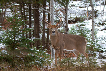 White-tailed deer buck on the edge of the forest in winter
