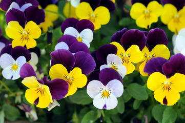 colorful pansy