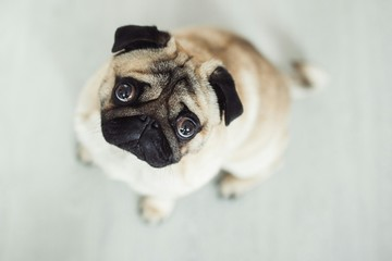 Directly Above Portrait View Of Pug