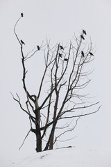 A group of Ravens perch in tree in early spring, 2013. The snowy background sets off the bare tree and the black birds well. Portage area in Southcentral Alaska. Birds.