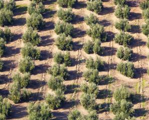 Olive Groves Near Burunchel Cazorla Natural Park, Segura Y Las Villas, Jaen Provinc, Andalusia, Spain