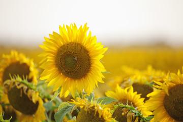 Sunflowers In Bloom In A Field, Winnipeg, Manitoba, Canada