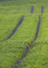 A rabbit hops down a tire track,Northumberland england