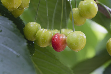 Close up of one ripe cherry among unripe cherries on the tree with rain droplets,Summerland british columbia canada