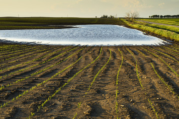 A field of grain corn is flooded from excessive spring rains in central Iowa, Iowa, United States of America