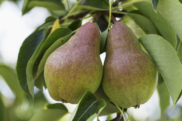 Close up of two pears hanging in a pear tree, Vineland, Ontario, Canada