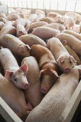 Pen full of pigs, United States of America