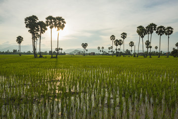 Countryside around Kampot, with rice fields and palm trees on the landscape, Kampot, Cambodia