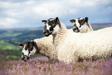 Dalesbred mule shearlings on heather moorland, North Yorkshire, England