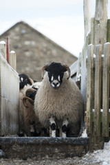 Dalesbred sheep going through a footbath to help prevent foot rot, North Yorkshire, England