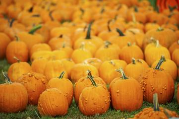 Orange pumpkins, Elkton, Maryland, United States of America