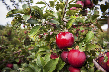 Red apples on an apple tree in an orchard, Elkton, Maryland, United States of America