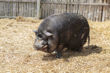 Pot-bellied pig on farm, Caledon, Ontario, Canada