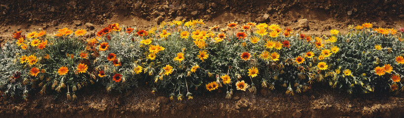 Row of Gazanias in the Santa Ynez Valley in summer, Lompoc, California, United States of America