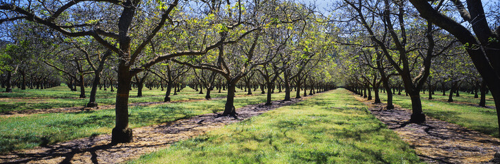 Grove of mature walnut trees just leafing out in early spring, near Bowie, Arizona, United States of America