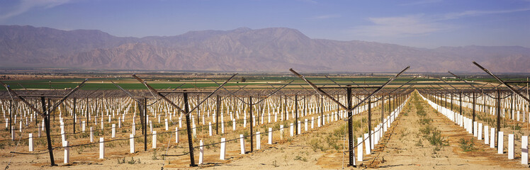 Newly planted vineyard staked and with white protective sleeves dominates the foreground, other green fields and mountains beyond, Coachella Valley, Mecca, California, United States of America