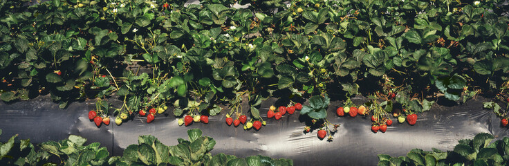 Close up view of rows of strawberry plants with ripe and unripe berries on black plastic, Salinas Valley, Salinas, California, United States of America