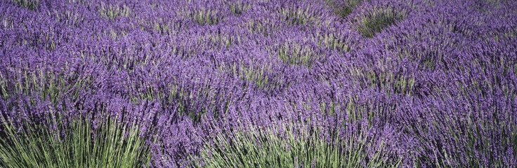 Close up view of lavender plants swaying in the breeze on an organic farm in Santa Ynez Valley in the summer, Buellton, California, United States of America