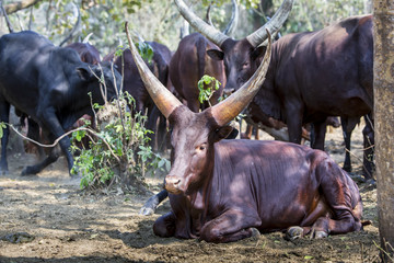 Horned cows in the shade, Uganda
