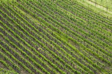 Rhine Valley grape vineyard in springtime, Germany