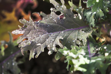 Close up of a colourful kale leave with rain droplets, Calgary, Alberta, Canada
