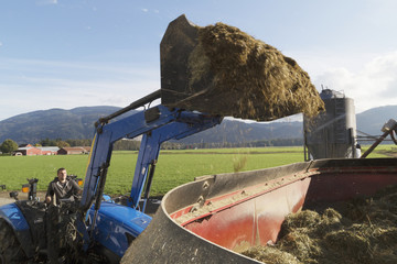Farmer drops bucket of feed into the mixer with a front end loader, mixing feed for the cows with straw, hay and silage, Dewdney, British Columbia, Canada