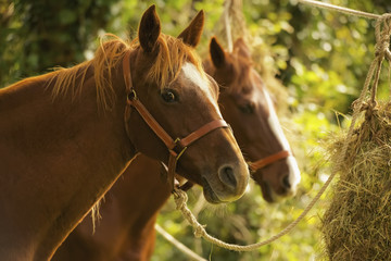 Two chestnut horses in trees eating hay, Battle, England