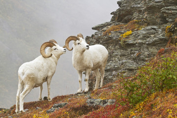 Dall'ssheep  rams standing by rock outcrop in tundra