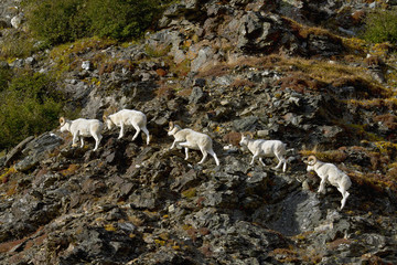 Dall's sheep (ovis dalli) rams walking across rocky ridge on side of mountain in autumn, denali national park;Alaska, united states of america