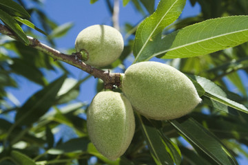 Agriculture - Healthy green almonds on the tree in early summer / Tehama County, Northern California, USA.