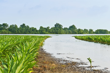 Agriculture - Flooded corn field along the Yazoo River during the Mississippi River flood of May, 2011 / near Redwood, Mississippi, USA.