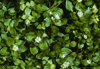 Agriculture - Weeds, Common Chickweed (Stellaria media) aka. Starwort, Starweed, Satin Flower, Tongue-grass, Winterweed, flowering plants / California, USA.