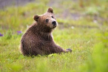 Brown bear  cub in grass