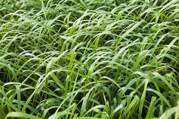 Beach Grass; False Pass, Alaska, United States Of America