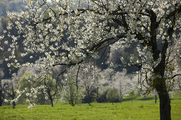 Cherry trees near Freiburg, Black Forest, Germany