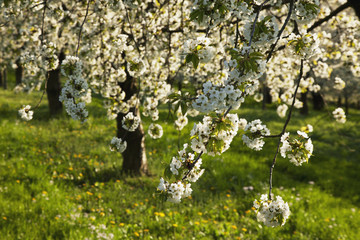 Close up of blossoms on a cherry tree near Obereggenen, Markgraefler Land, Black Forest, Germany