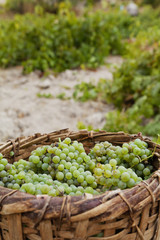 Picked grapes ready for making wine, Cappadocia, Turkey